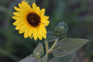 sunflowers 002 (640x427)