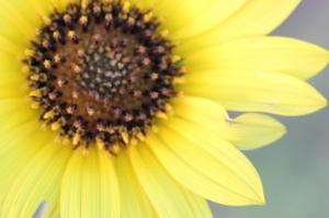 sunflowers 004 (800x533)