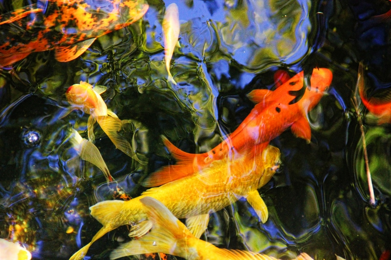 Colorful koi on a perfect fall day terry spear 39 s shifters for Perfect koi