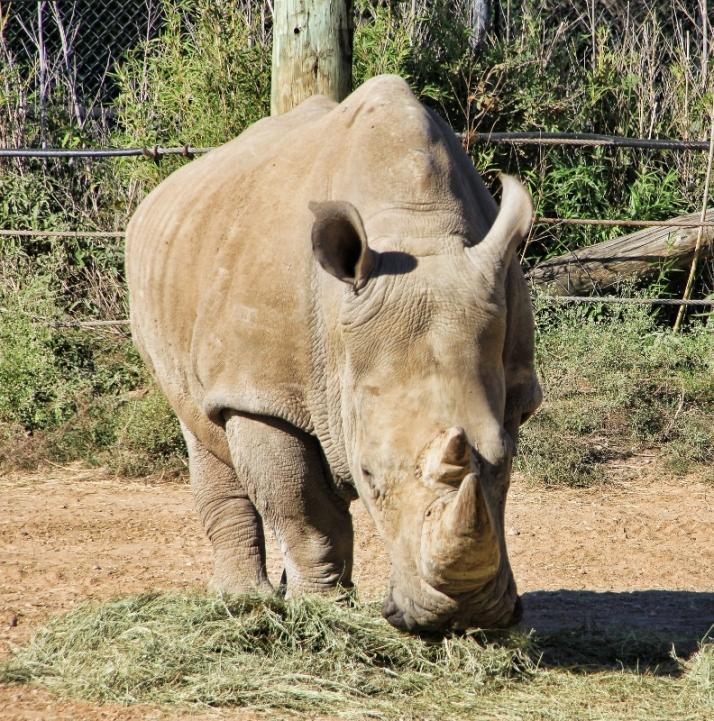 rhino (792x800)