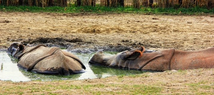 Rhinos Bathing