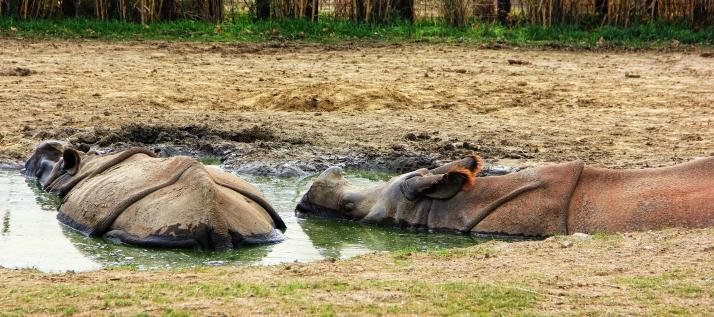 Rhinos Bathing