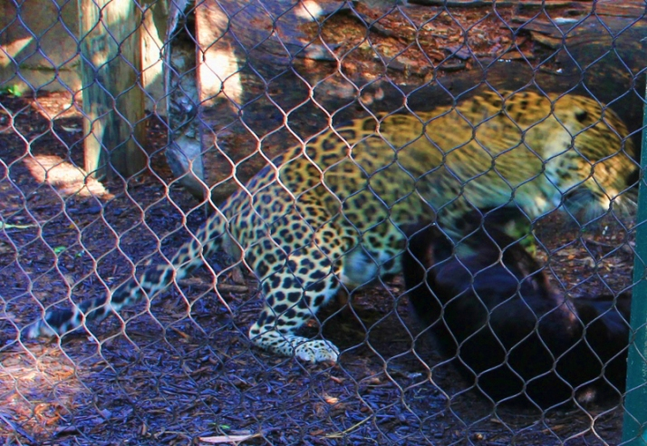 leopards fighting 5 (800x552)