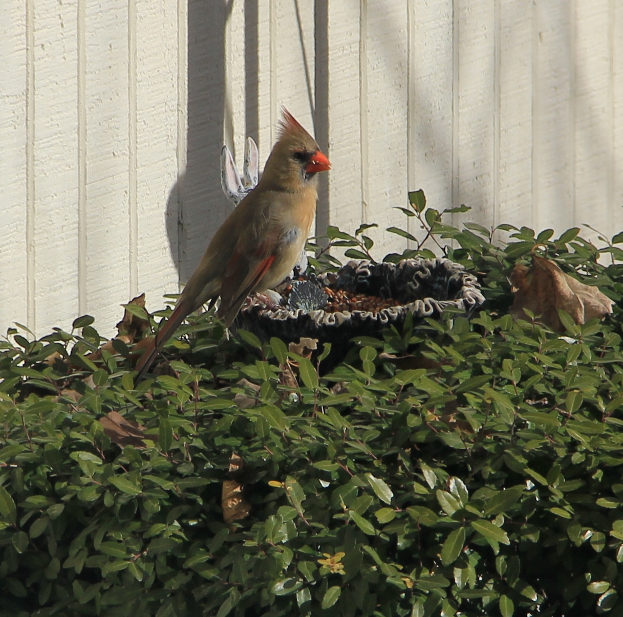 The Arctic Plunge What Does It Mean For Your Plants: Cardinal Eating On Feeder