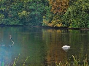 fall lake swan Scotland (2) (800x600)