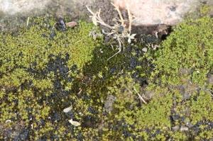 garlic and moss 013 (800x533)