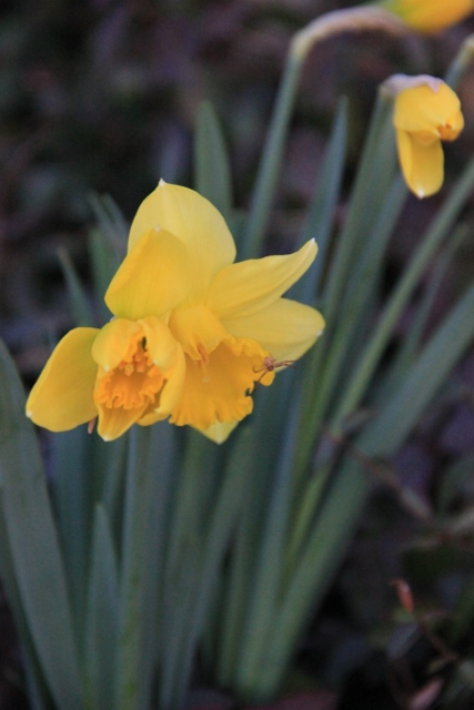 night time daffodils 004 (427x640)