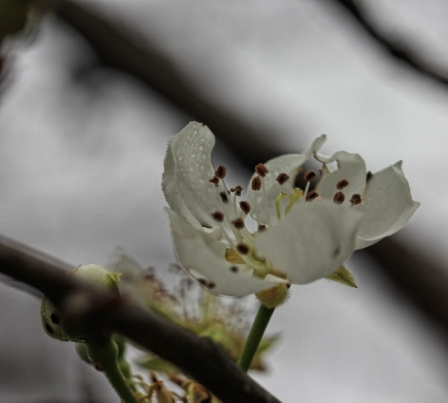 pear blossoms (640x577)