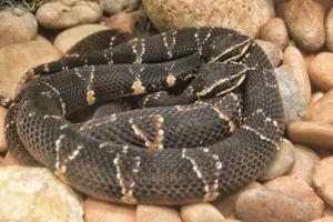 2 poisonous snakes closeup (640x427) (2)