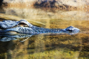 alligator (640x427)
