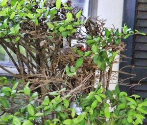 cardinal in her nest (640x547)