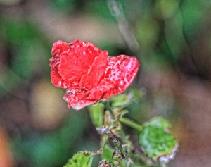 frozen rose (800x633)