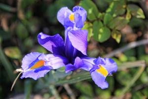 Iris open