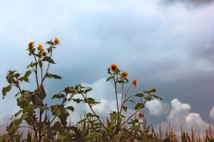 closer up sunflowers storms paler blue