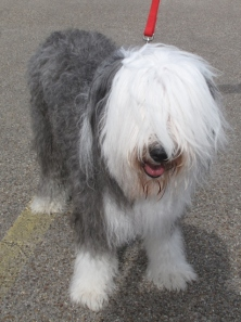 Old English sheepdog, Boomer