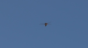 dragonfly in flight (4)