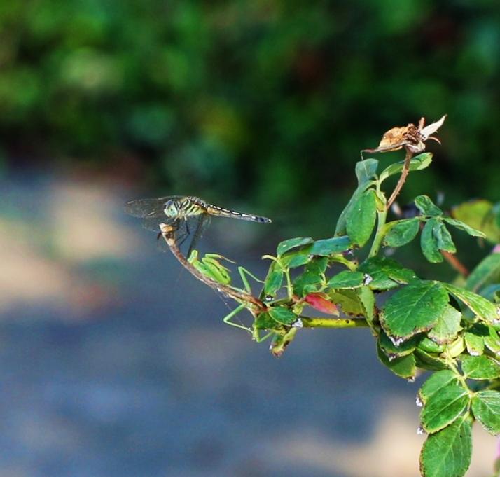 Dragonfly Blue
