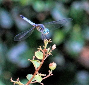 dragonfly blue big eyes copymacro3