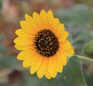 sunflower dried cornfields (640x592)