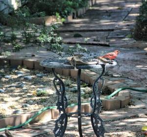 cardinal feeding (2) (640x601)