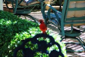 cardinal upclose (640x427)