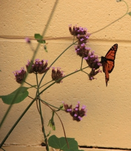 Monarch Butterfly and not sure what the purple flowers were, but the monarchs loved them.