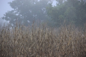 Fog over the cornfields