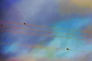 scissortail and sparrows (640x427)stretch
