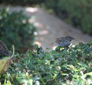 sparrow on hedge (640x588)