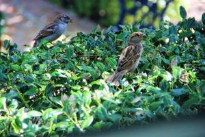 sparrows 2 (640x427)