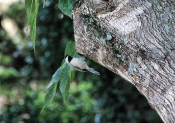 Closeup of the Chickadee