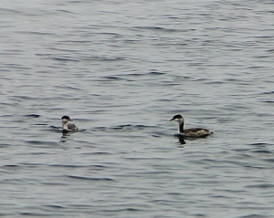 2 Loons at a Marina on Lake Superior