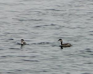 2 Loons at a Marina on Lake Superior