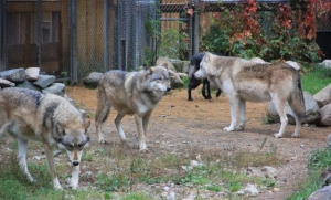 4 wolves, International Wolf Center