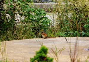 chipmunk at the marina chewing on grass