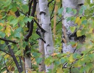Hairy Woodpecker on birch