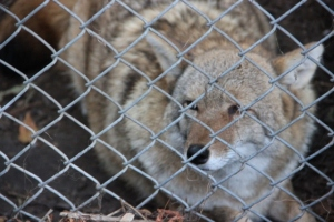 Red Wolf? Coyote? Or Grey Wolf?
