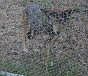 Red Wolf? Coyote? Or North American Gray Wolf? Or Coyote Wolf Mix? Mexican Gray Wolf?