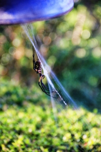 zipper spiders are huge, but just harmless insect eaters