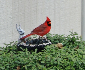 cardinal eating soggy seeds 006 (3)