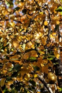fall leaves 005 (427x640)
