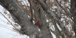Cardinal in the tree closer to the kitchen window