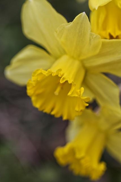 Musical Daffodils