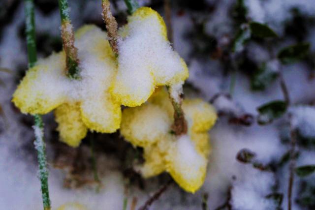 snowy daffodils (640x427)