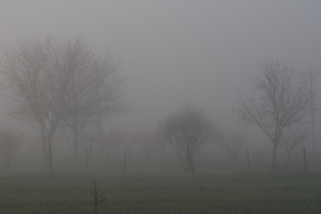 fog and peach orchard (640x427)