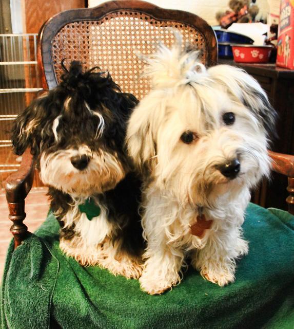 puppies topknots (573x640)