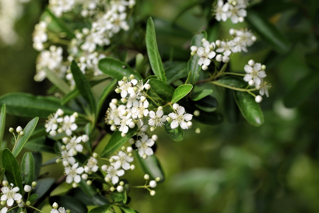 ligustrum, privet flowers (640x427) copy