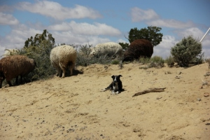 sheep and dog (2) (640x427)