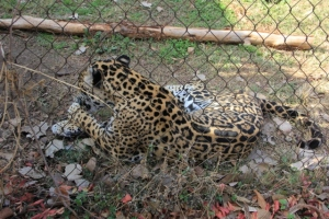 Jaguar caught in zoo--shifter?