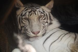 White Tiger Portrait